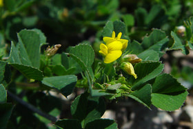 Picture of Medicago polymorpha